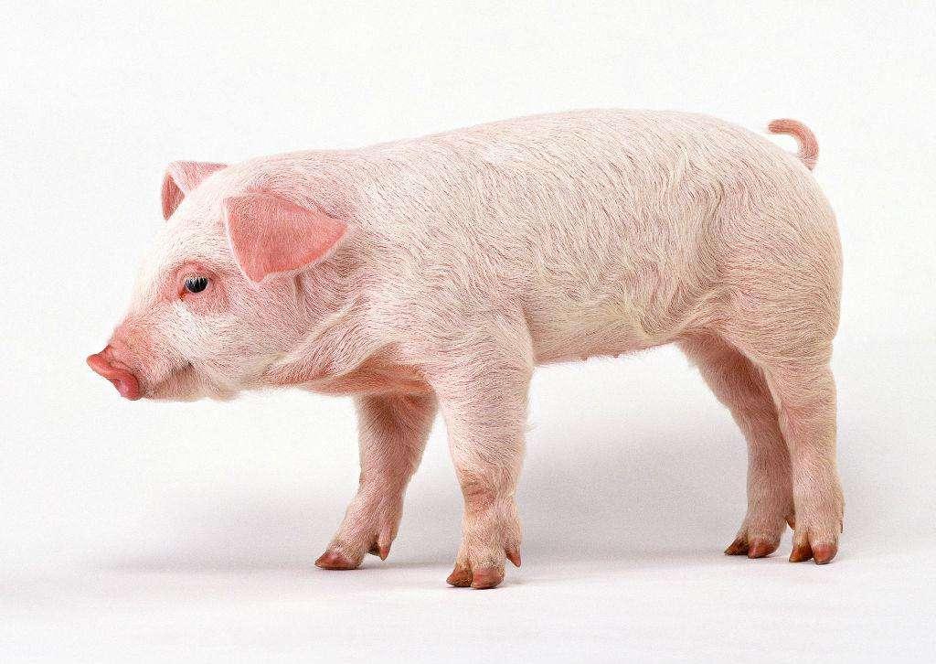 猪产业指数再次震荡上涨