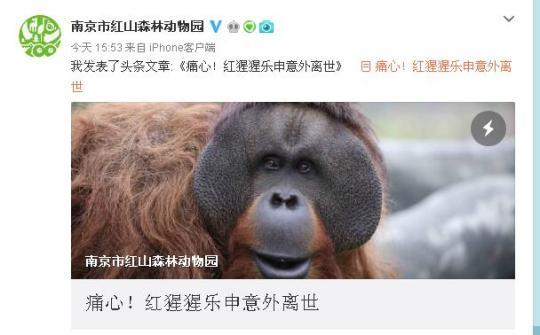 猩猩乐申意外离世 它的成长倾注了动物园人太多的爱与期待