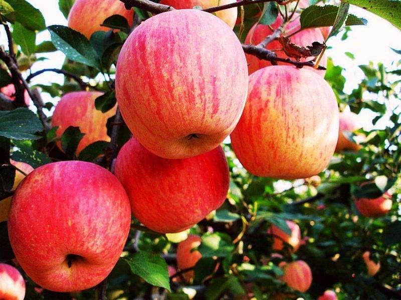 早熟苹果收货困难
