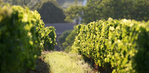 严肃的陈年型白葡萄酒——波尔多干白