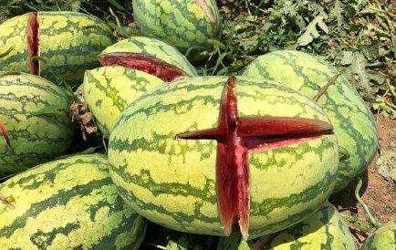 2000个西瓜被砍烂是怎么回事?