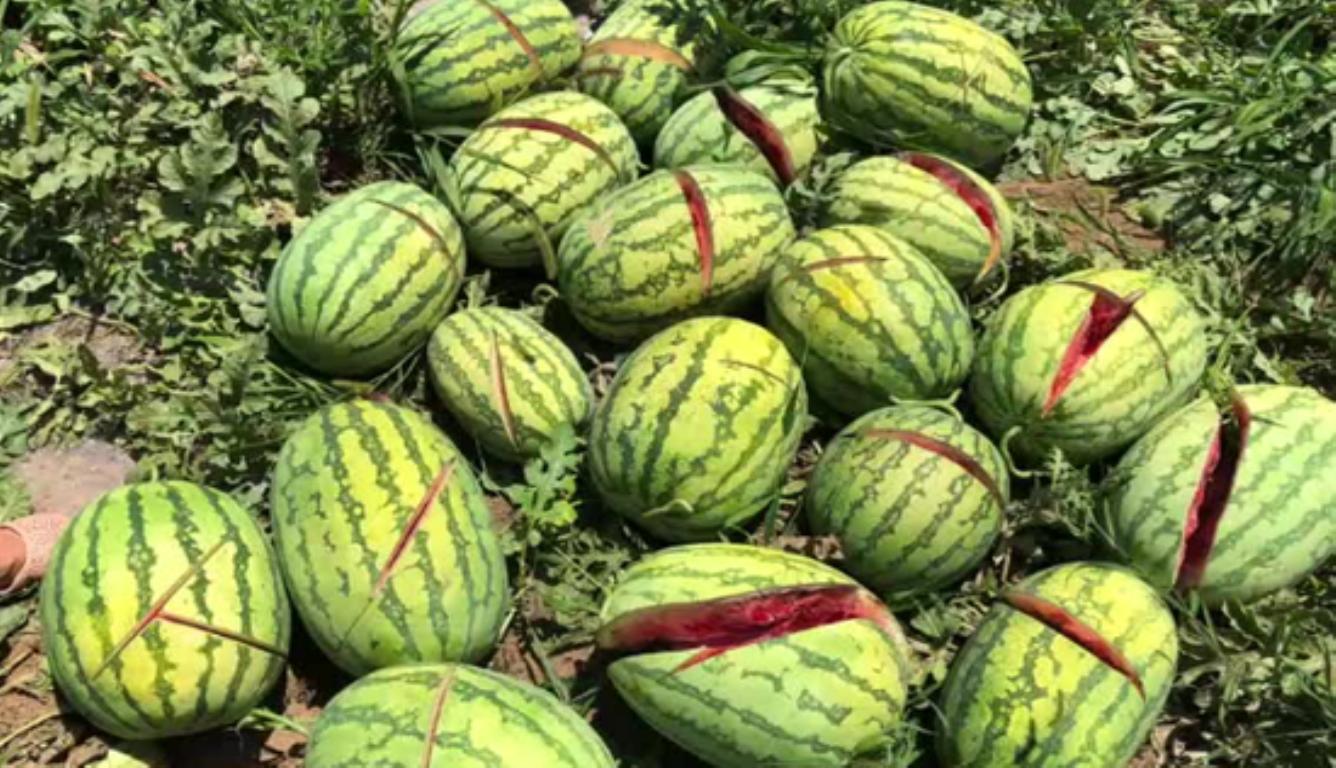 2000个西瓜被砍烂 损失约为3万至4万元