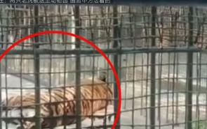 马戏团脱逃老虎死亡 该马戏团无野生动物经营许可证