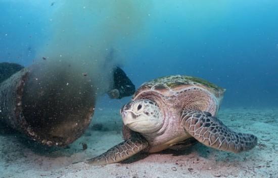 绿海龟以污水为食 污水中有人类和动物的排泄物