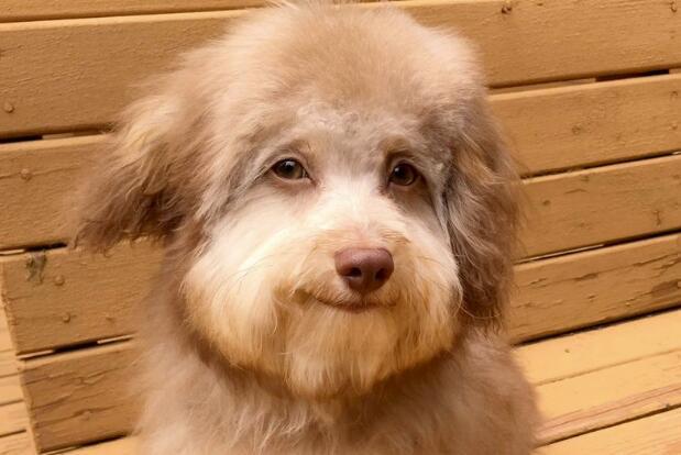 小狗长着一张人脸 这种混血狗狗非常受欢迎