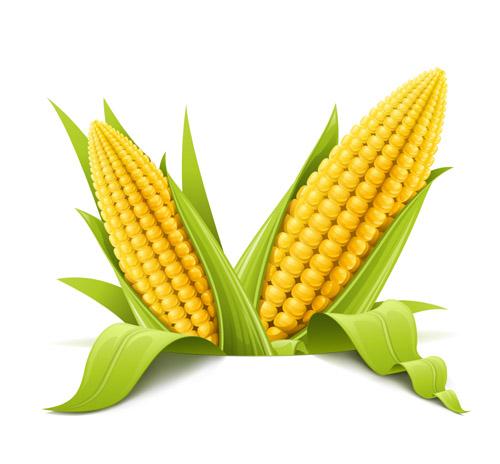 玉米呈现磨底状态