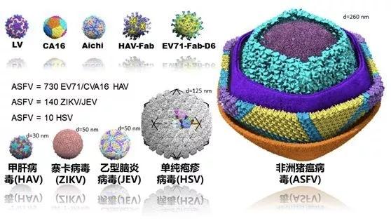 中国解析猪瘟病毒 揭开猪瘟病毒的神秘面纱