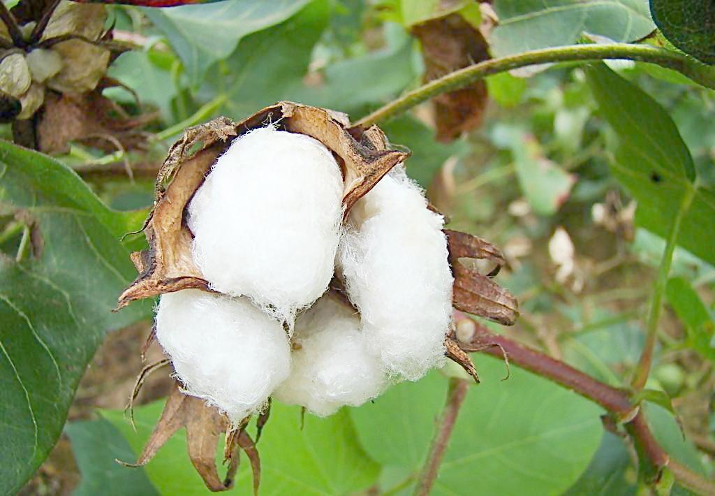 棉花迎來大利多 中央儲備將輪入新疆棉50萬噸