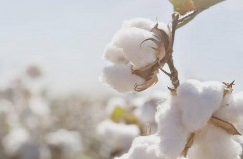 棉花供应总量相对稳定 储备轮入政策重启