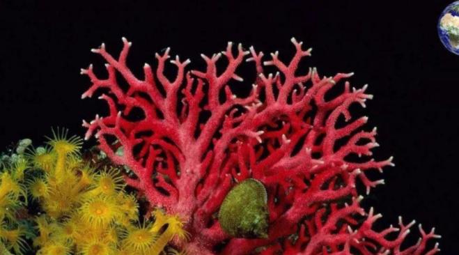 作为装饰品的红珊瑚竟是一级保护动物