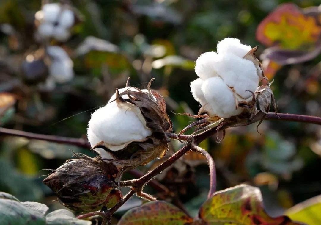 受疫情影响 2020年全国植棉意向下降5.36%