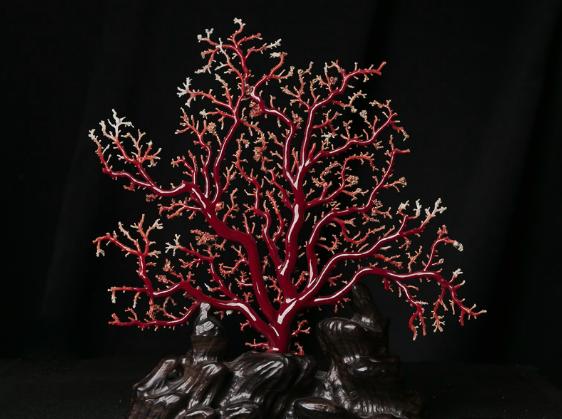 阿卡珊瑚世人知 阿卡红珊瑚品质如何?