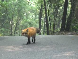 武大网红狐狸下山觅食 竟然自己跑下了山