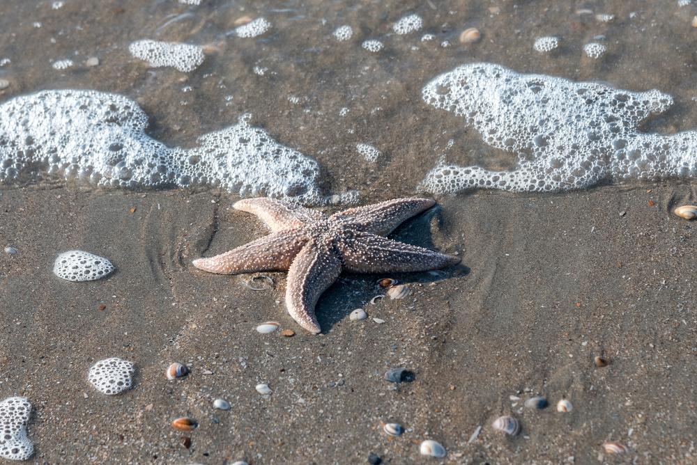 青岛海星数量减少 已降低至6至8个/平方米