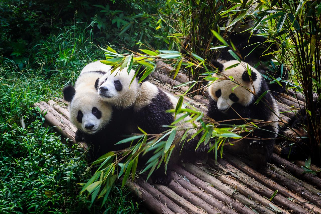 村民找牛途中偶遇大熊猫 正悠闲地从高山下来