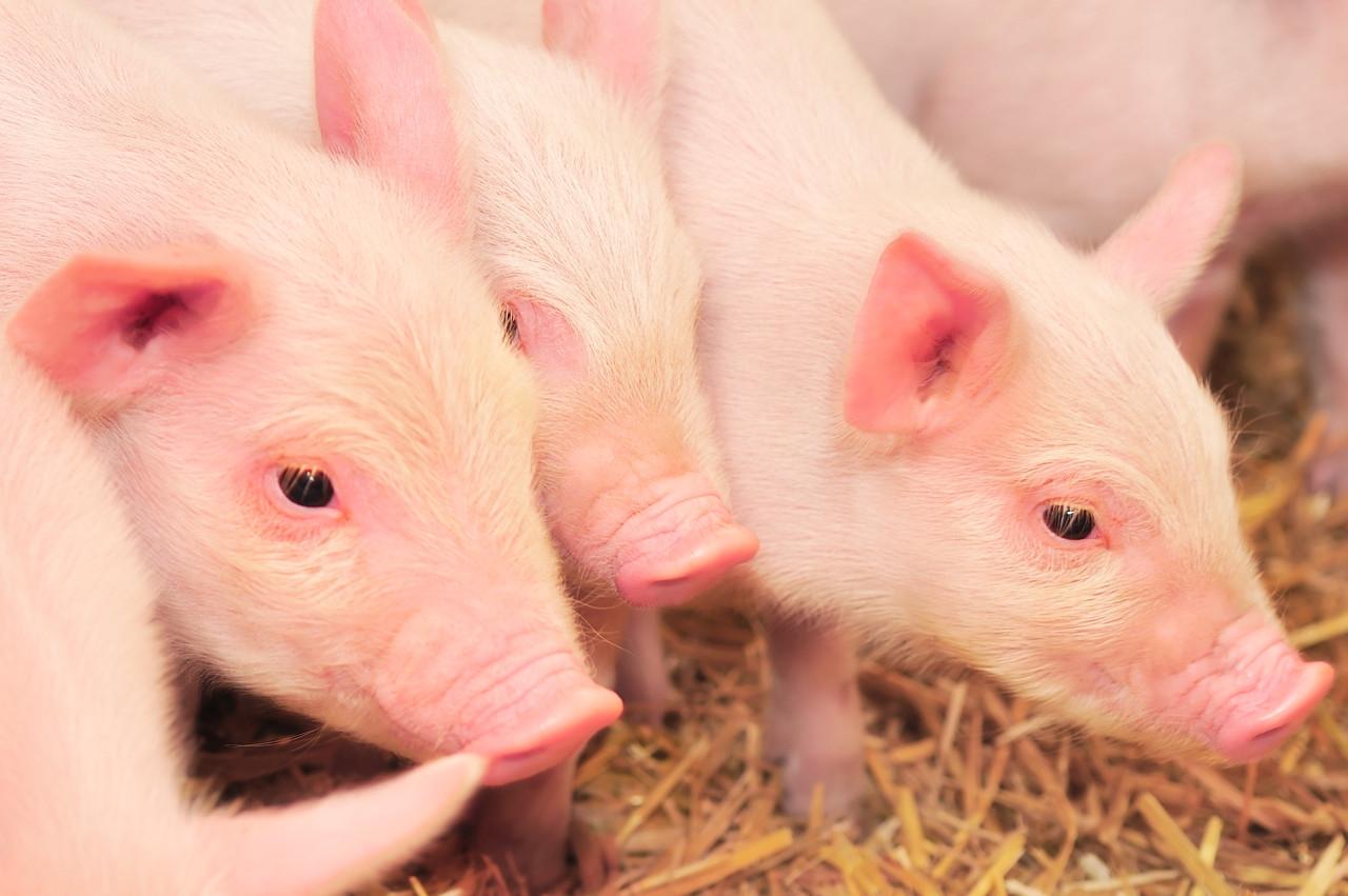 英国烧掉10万头活猪 继续喂养非常不合算