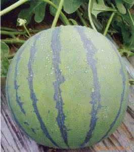 丰乐一号西瓜