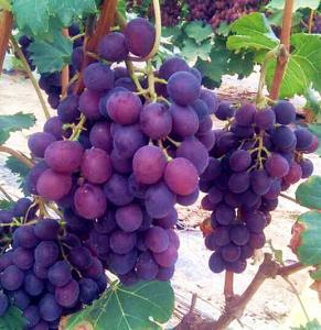 超早熟葡萄